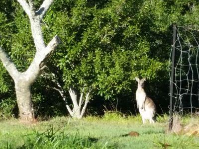 Kangaroos sometimes stop to say hello.