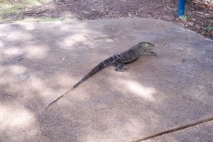 Goanna at Glass House Mountains lookout
