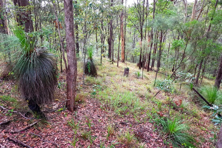 Eucalypt forest at Glass House Mountains lookout