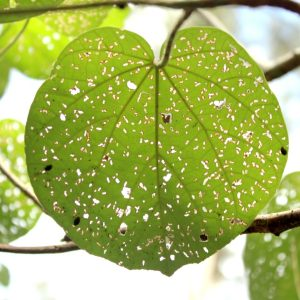 Hibiscus tiliaceous (cotton tree) leaf at Maroochy Wetland Sanctuary