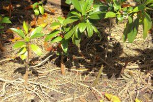 Brugiera gymnorhiza (orange mangrove) seedlings at Maroochy Wetland Sanctuary