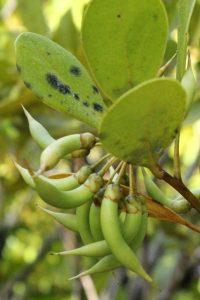 Aegiceras corniculatum (river mangrove) at Maroochy Wetland Sanctuary