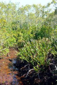 Acrostichum speciosum (mangrove fern) at Maroochy Wetland Sanctuary