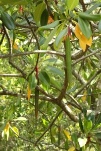 Brugiera gymnorhiza (orange mangrove) propagules at Maroochy Wetland Sanctuary